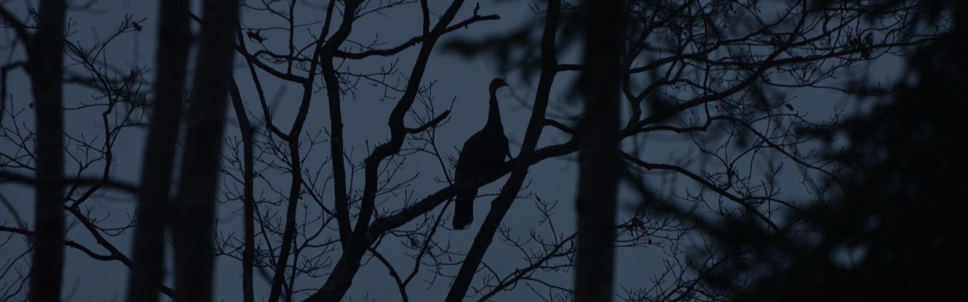 Turkey sitting up in a tree