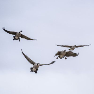Geese flying in the sky
