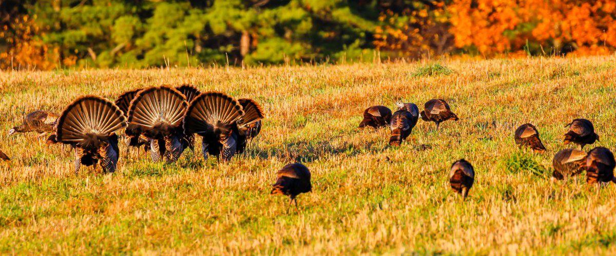 turkeys struttering around turkey decoys