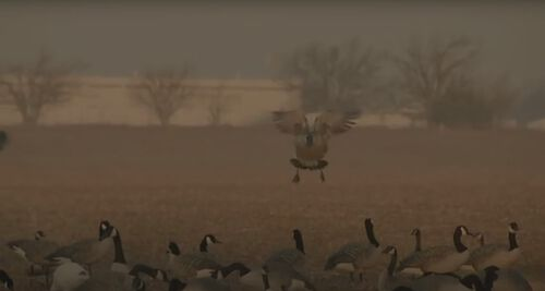 A goose landing in a field filled with decoys