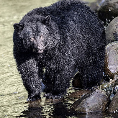 Bear by river