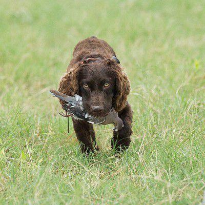 dog carrying a dead bird