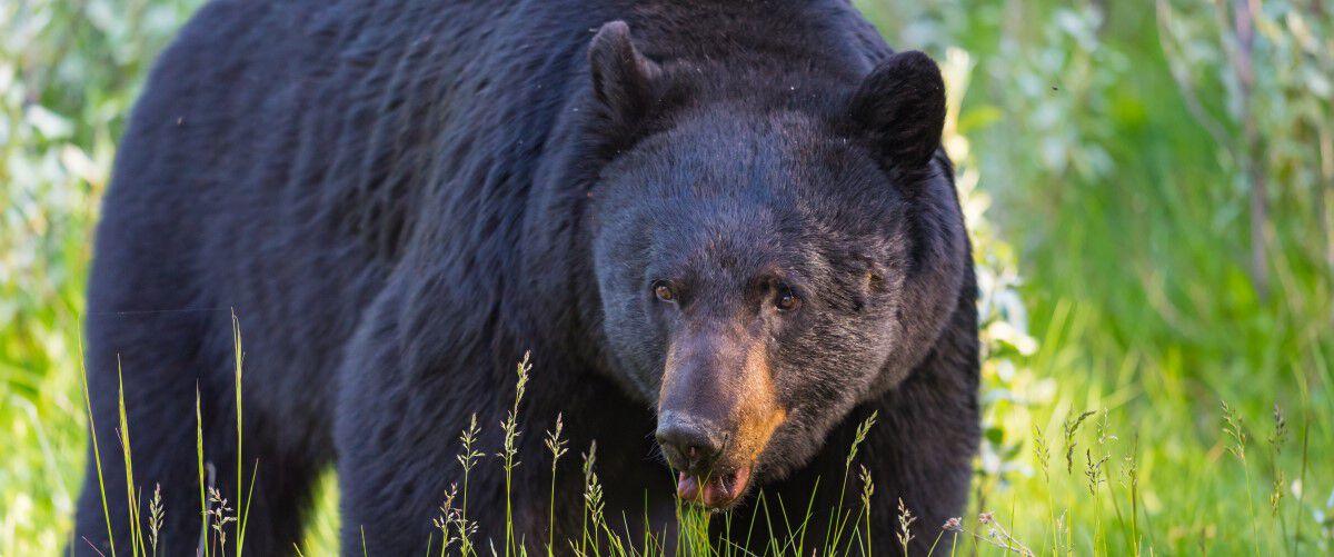 Black Bear walking in green grass