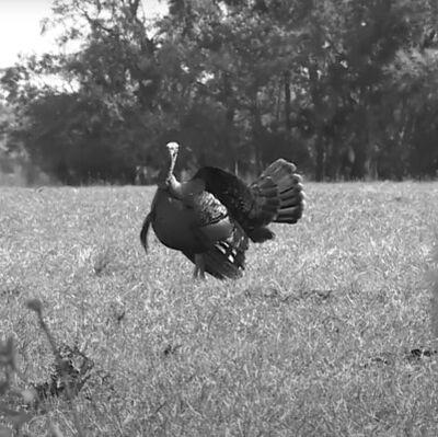 turkey standing in a field