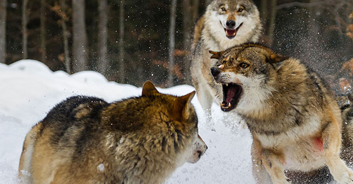 Wolves Fighting